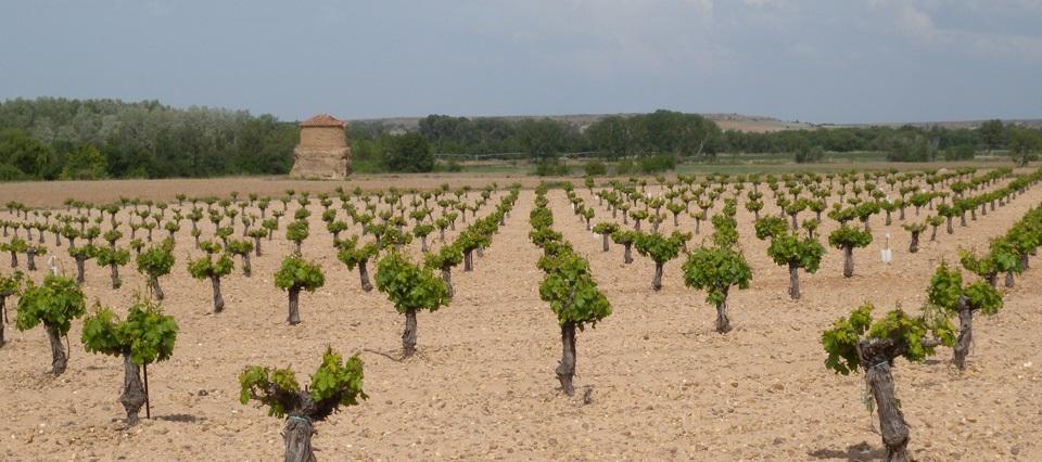 Paisaje de viñedos, cantos y arenas en Toro (Zamora)