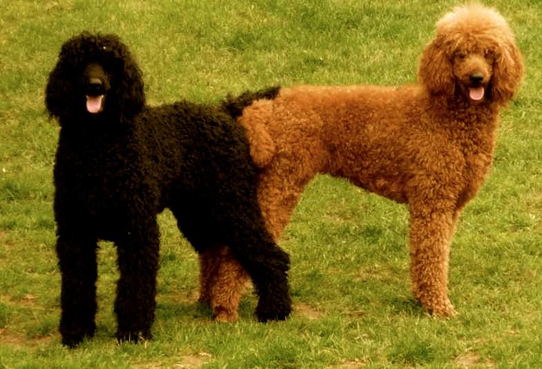 la reproducción en los perros