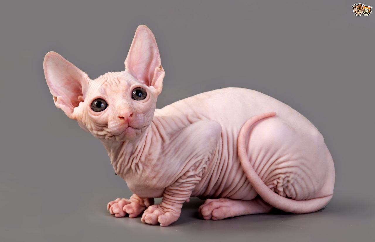 vease video descriptivo , gato esfinge